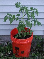 Container grown tomato