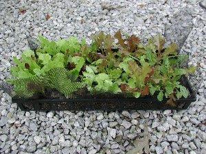Lettuce Container Gardening