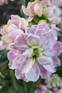 Stock Flowers matthiola incana
